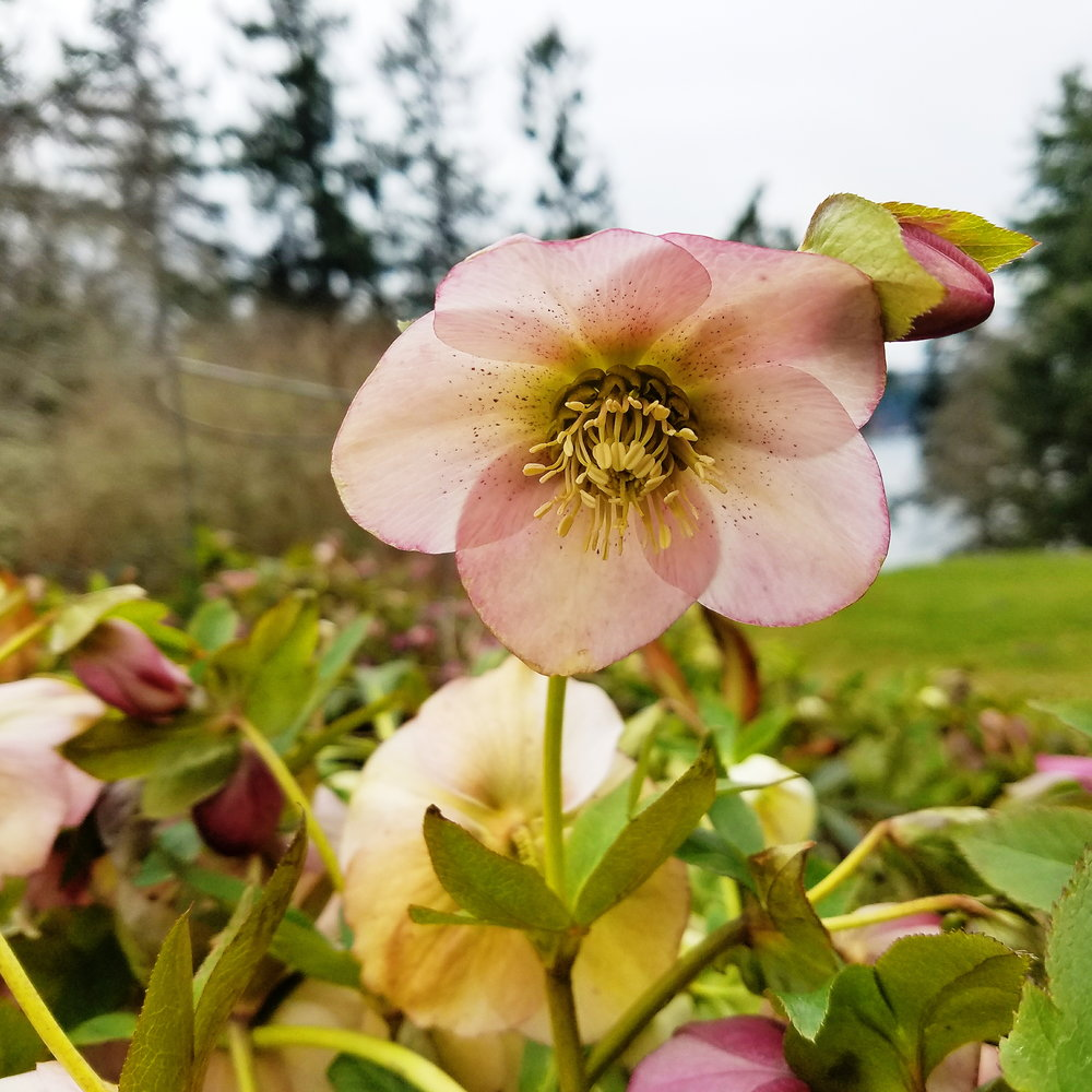 and dusty pink hellebores