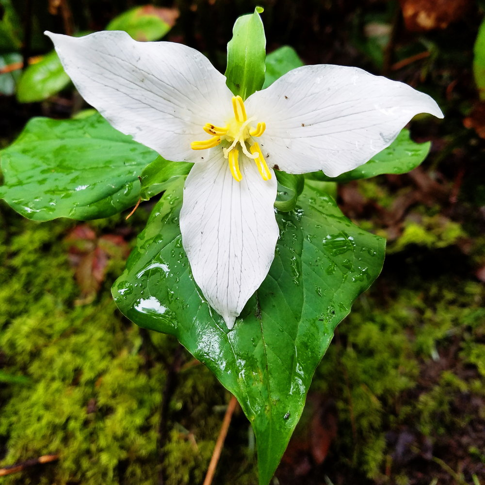 Soggy trillium all over- spring has finally officially arrived!