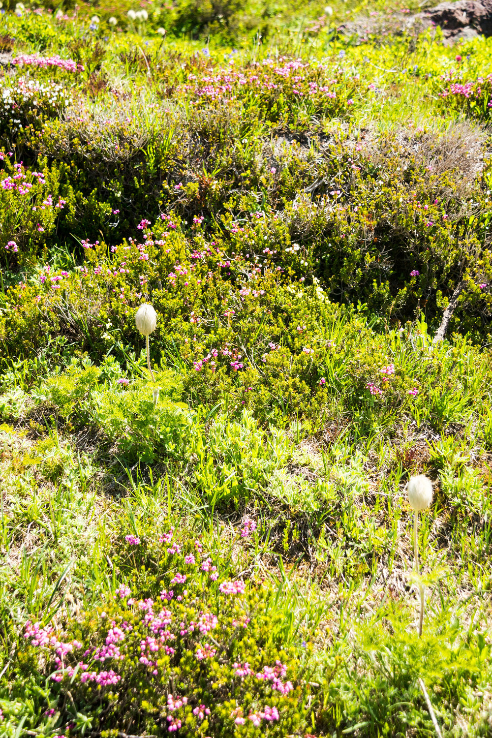 A sea of heather punctuated with a few Seussian western anemone gone to seed