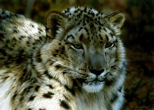 "Carl Brenders - ""Snow Leopard Portrait"""