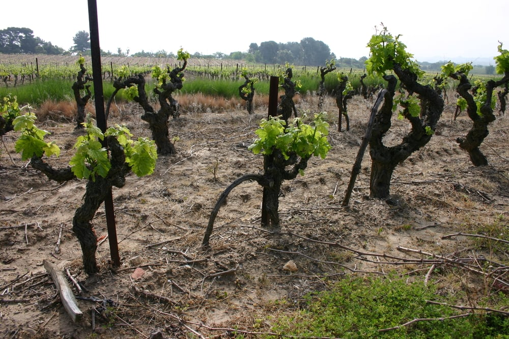 old Syrah vines in the Minervois region of Languedoc