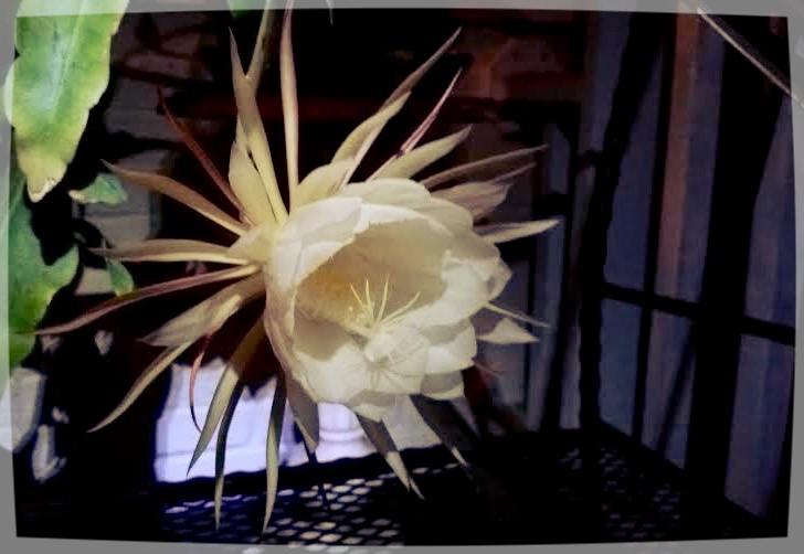 Pic of a single night blooming cereus we have. We have 1. It blooms one night a year. If your not checking on it, you could easily miss it.