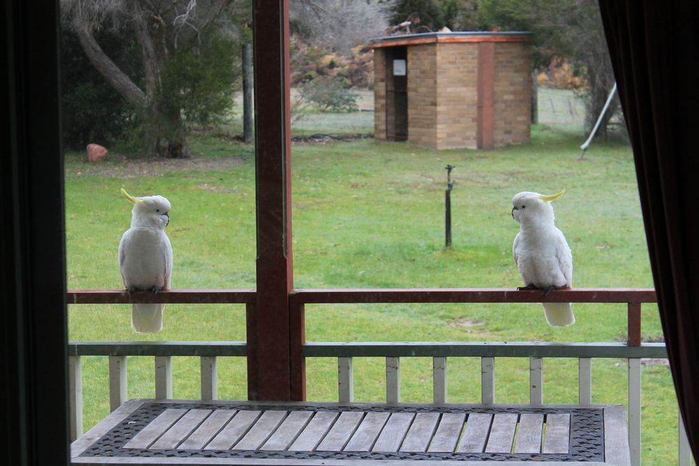 Cockatoos on our patio!