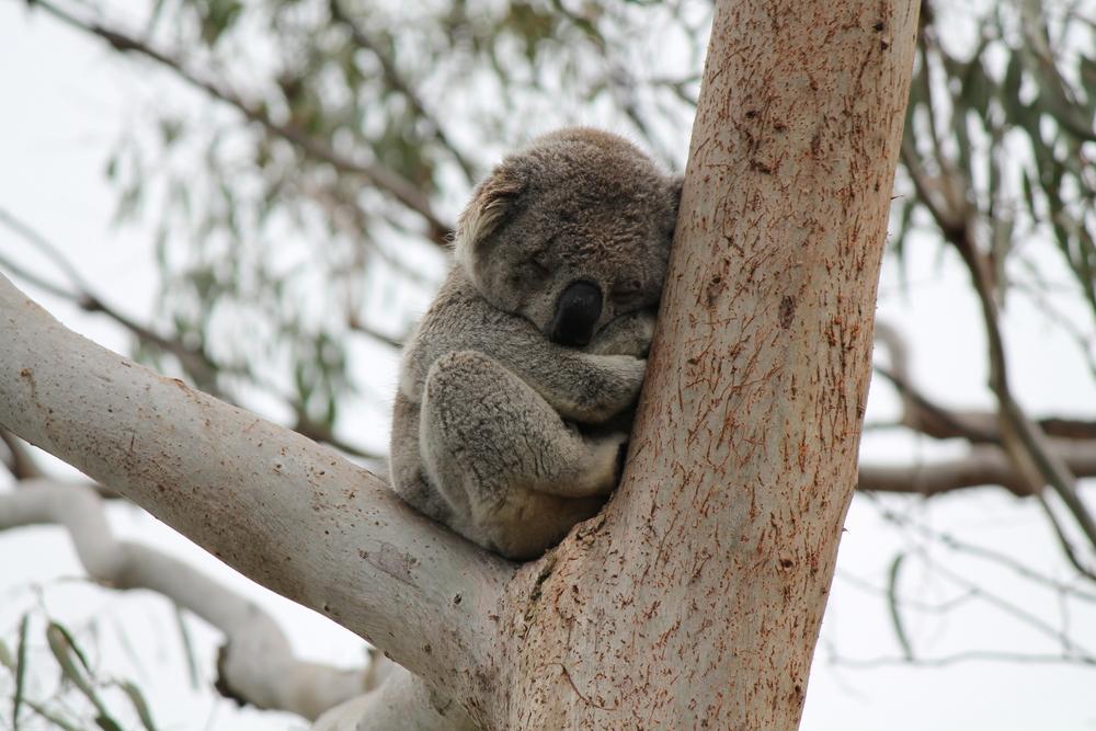 Koalas at Phillip Island.