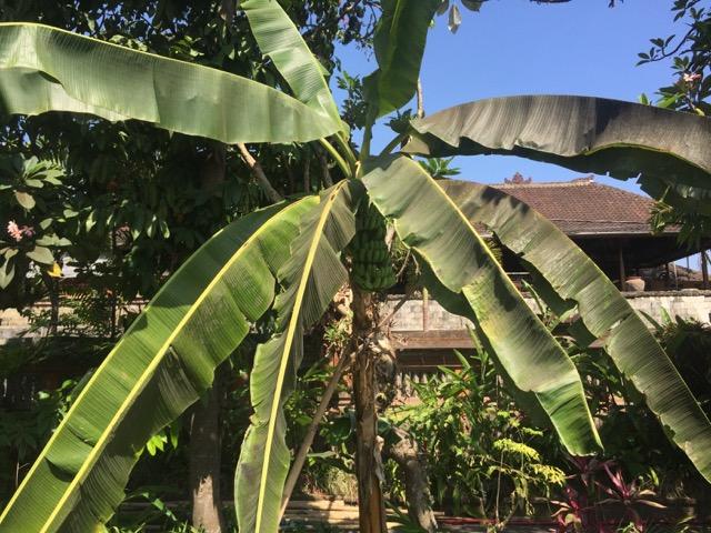 Banana tree!!