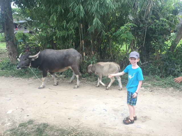 Walking a water buffalo!