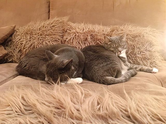 It's not everyday this brother and sister duo get snuggly with each other. So when it happens I have to capture it! #catphotography #catsmodeling #furrysubjects #furrymodels #catsofinstagram #catstagram #catphoto #catphotographer #catsofig #denvercats #denverkitties #coloradocats #furbabies #catladyinwaiting #meltsmyheart #catsonacouch #adoptdontshop #shelterkitties