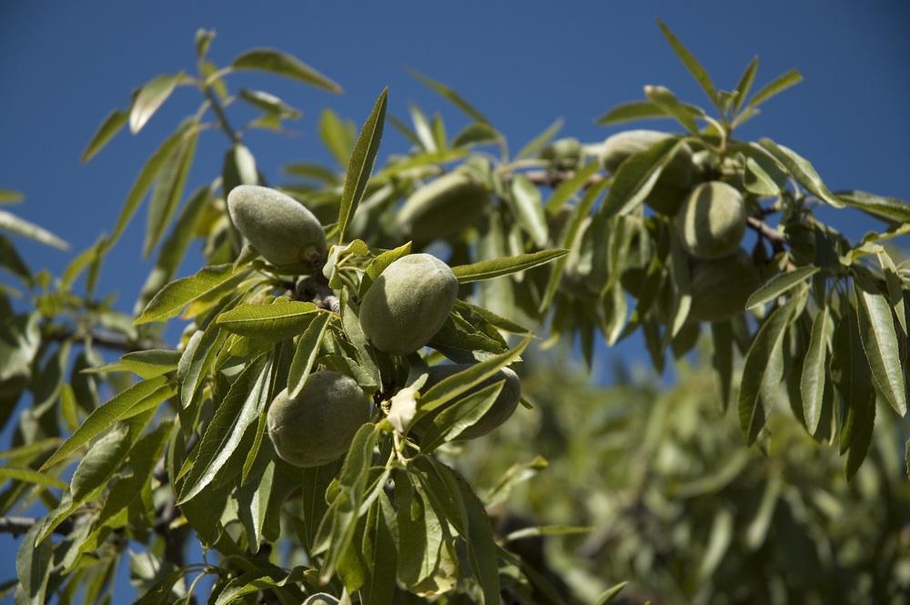 Almond Oil (Prunis Dulcis)
