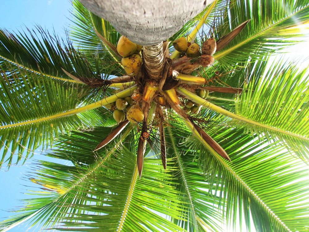 Coconut Oil (Cocos Nucifera)