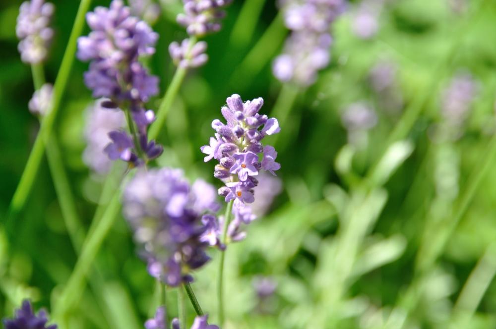 Lavender Oil (Lavandula)