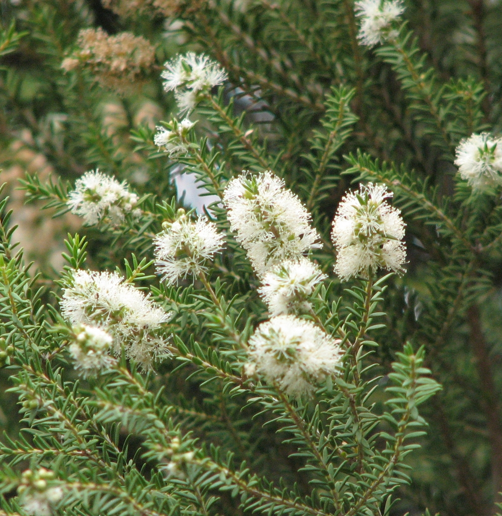 Tea Tree Oil (Melaleuca Alternifolia)