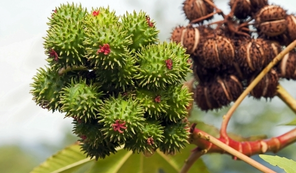 Castor Oil (Ricinis Communis)