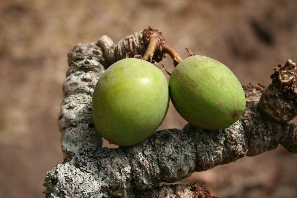 Shea Nut Oil (Vitellaria Paradoxa)