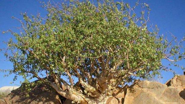 Myrrh Oil (Commiphora Myrrha)