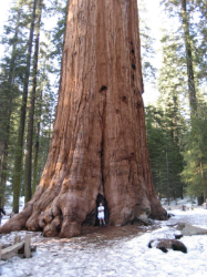General Sherman - California - used through Creative Commons