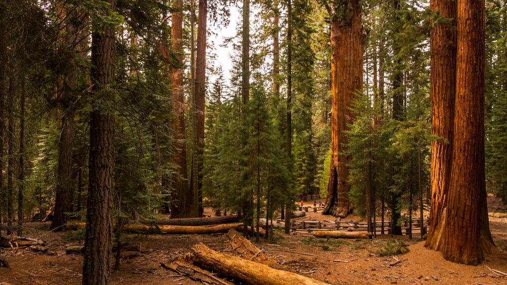 dolly-right-timelapse-view-of-sequoia-national-park-and-general-sherman-tree_n1mfe5ure__F0000.png