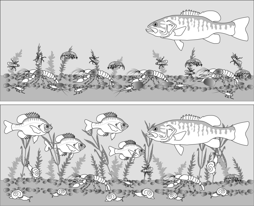 Cartoon representation of ecosystem changes following the crayfish removal. Image credit Bill Feeny.