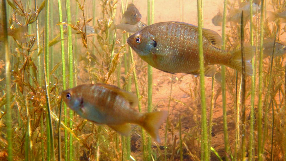Bluegill sunfish in macrophyte beds that appeared after rusty crayfish were removed from Sparkling Lake, Wisconsin. Photo credit Gretchen Hansen.