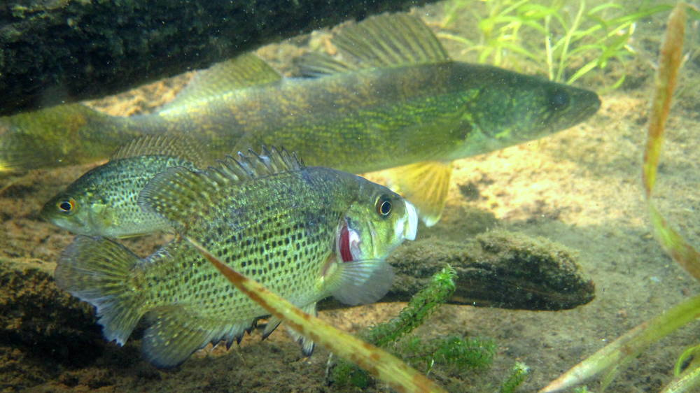 A rock bass creeping on a walleye in Sparkling Lake, Wisconsin. Photo credit Gretchen Hansen.