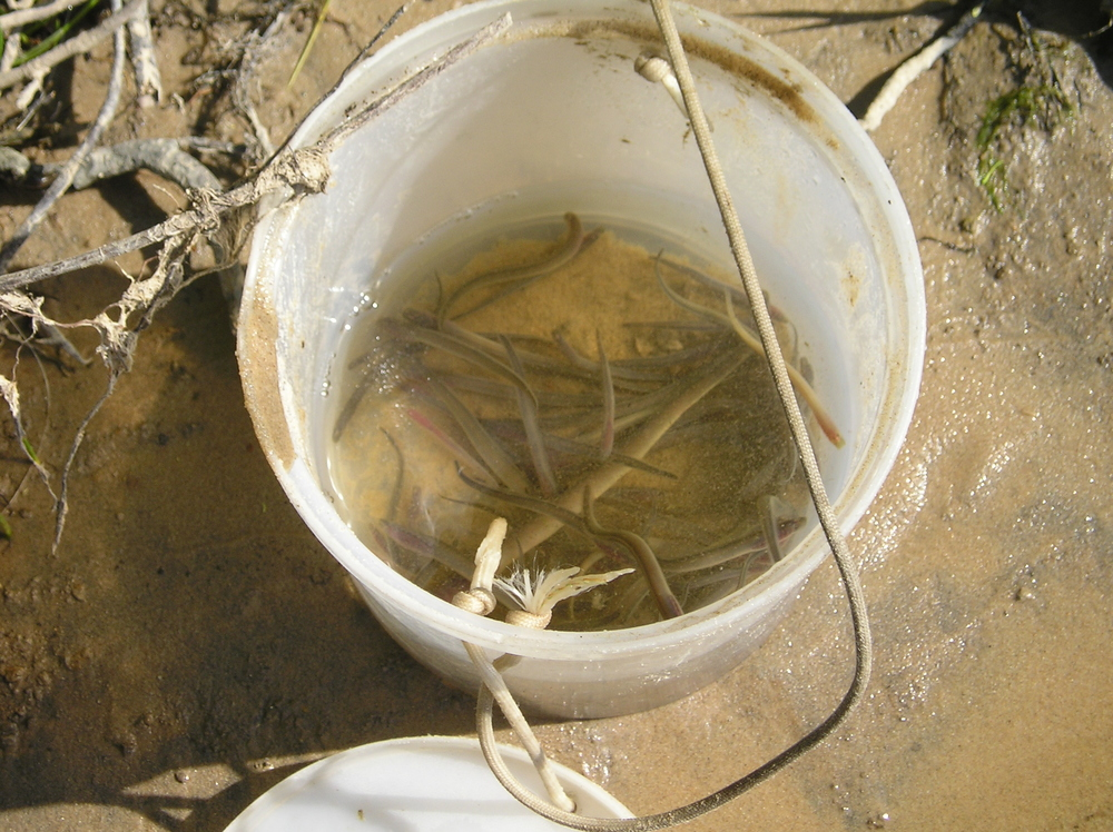 Bucket o' lampreys from larval assessment.