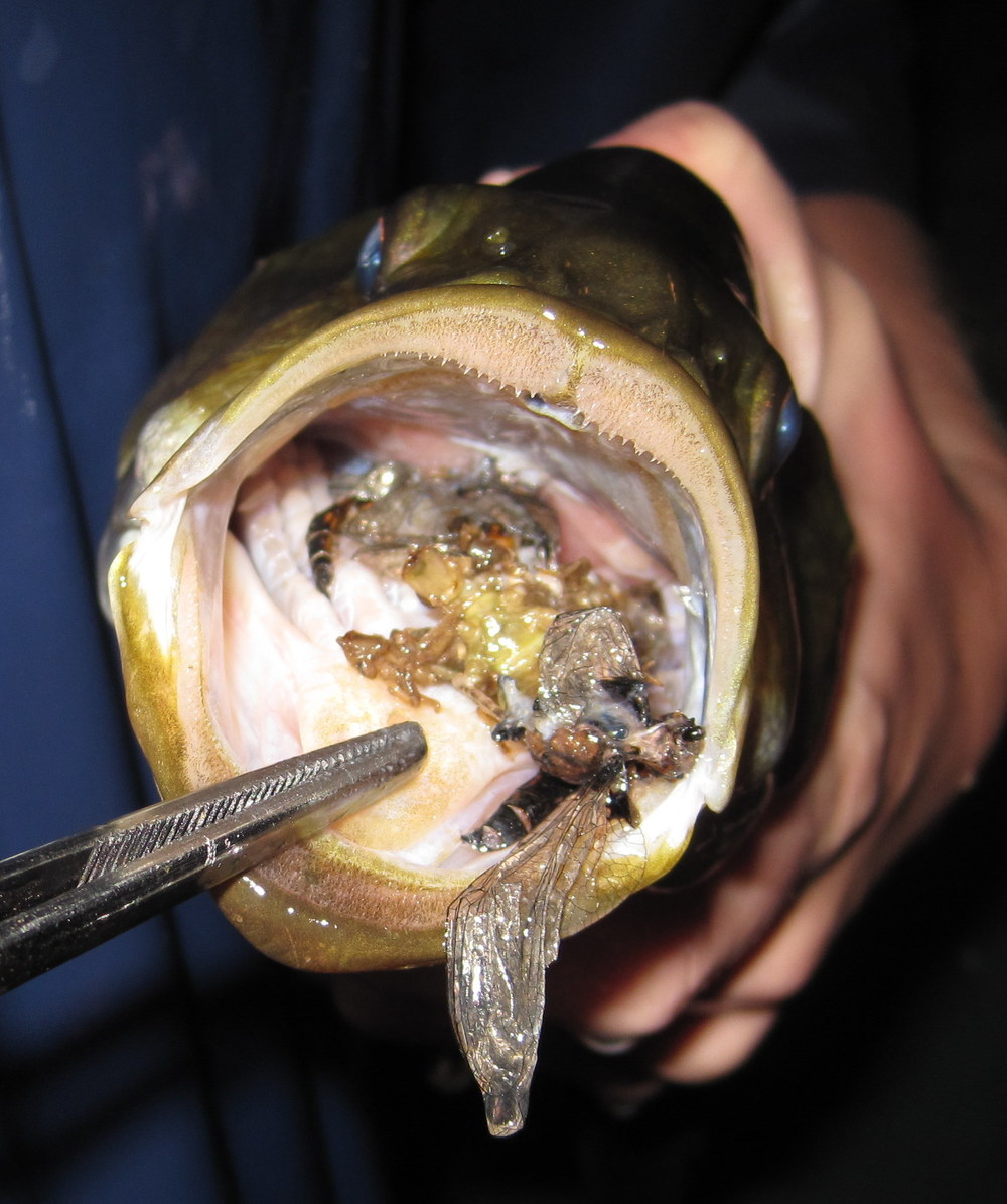 Smallmouth bass diet, aka fish puke