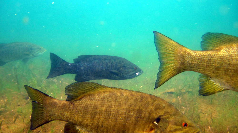 A herd of smallmouth bass