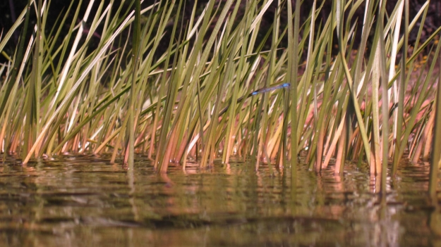 Damselfly in the reeds, Sparkling Lake, Wisconsin