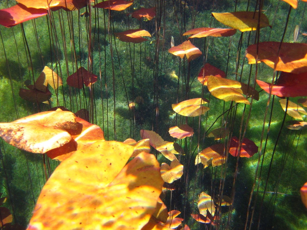 Aquatic plants in a crystal clear cenote near Tulum, Mexico.