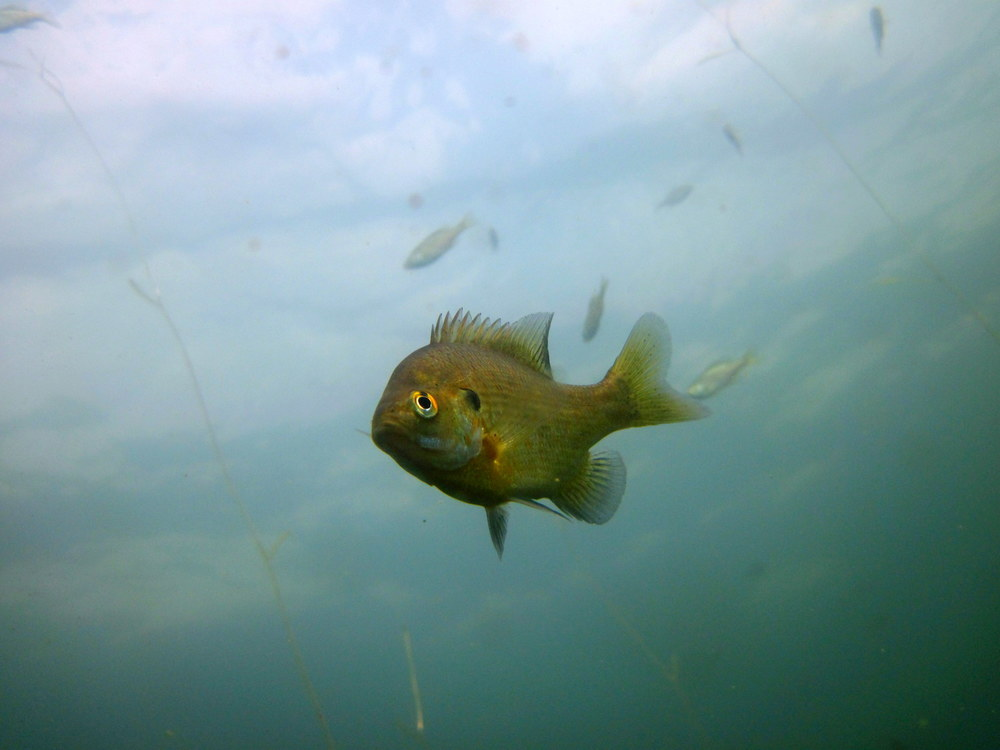 Wandering bluegill in Sparkling Lake, Wisconsin
