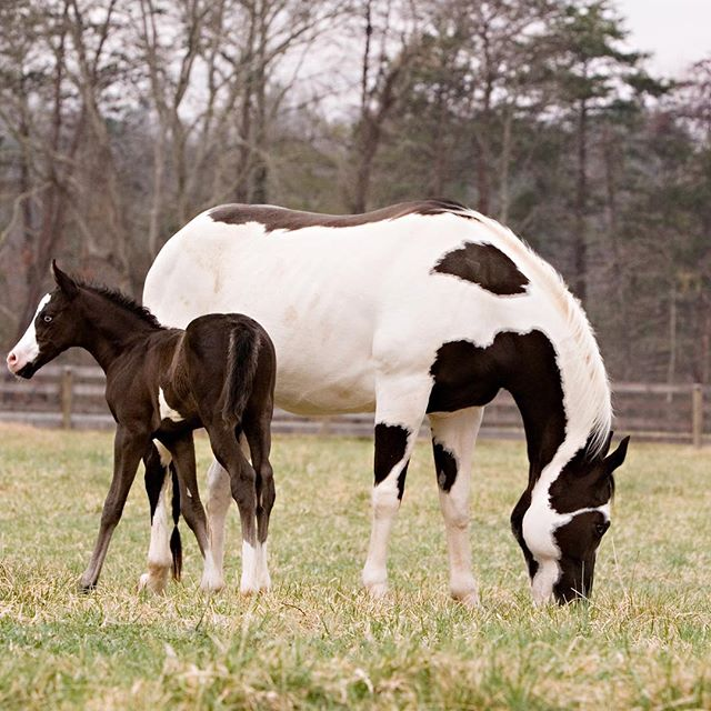 The most beautiful part of the world 🌼🐴🐣 . . . . . . #catawbariverclub #theriverclub #catawbariver #horsebackriding #grazinghorse #mountainscape #mountainhorses #horselife #riverlife #mountainlife #tablerock #greenerpastures #mommaandbaby #babyhorse #newborn #icanteven #piedmont #piedmontnc #travelnc #morganton #morgantonnc