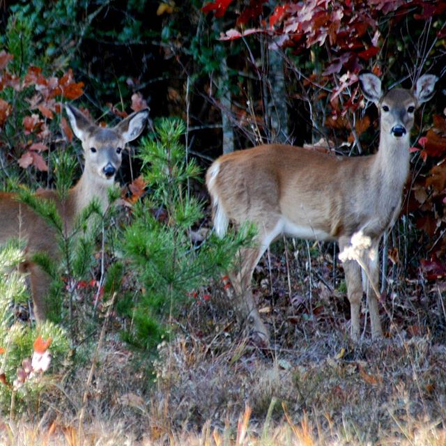 Just enjoying an afternoon at #theriverclub 🦌🌲🍂 . . . . . . #catawbariverclub #catawbariver #deer #notdeerhunting #forestlife #afternoonstroll #mommaandbaby #babydeer #babydeerlegs #mountainlife #travelnc #nc #morganton #morgantonnc