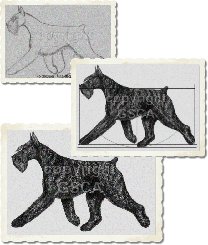 Giant Schnauzer Illustrated STandard - Moving Dog Draft, Proof, and Final