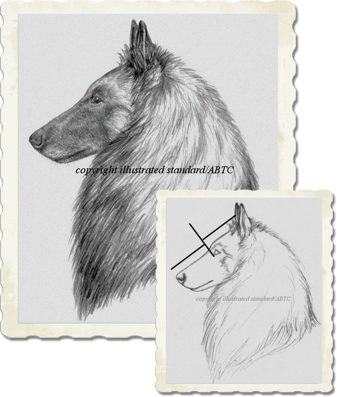 Belgian Tervuren Club Dog Head, Draft to Final for the Illustrated Breed Standard