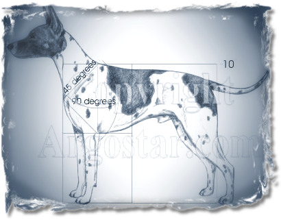 AMERICAN HAIRLESS TERRIER - Measured