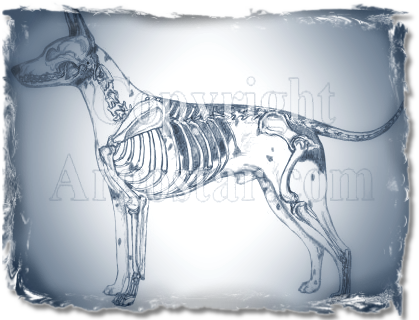 AMERICAN HAIRLESS TERRIER Illustrated Standard - Skeletal Overlay
