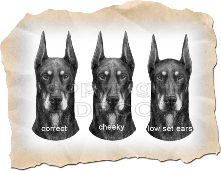Head Faults in the Doberman Pinscher - DPCC