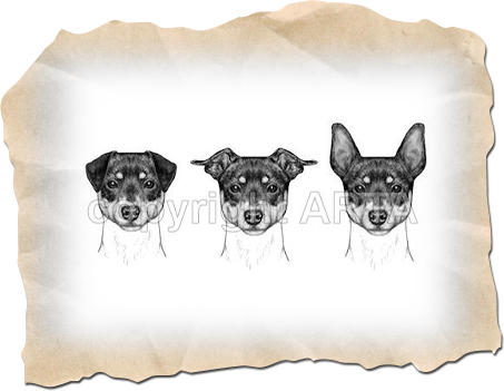Faulty Ears - American Rat Terrier Assoc. Illustrated Standard