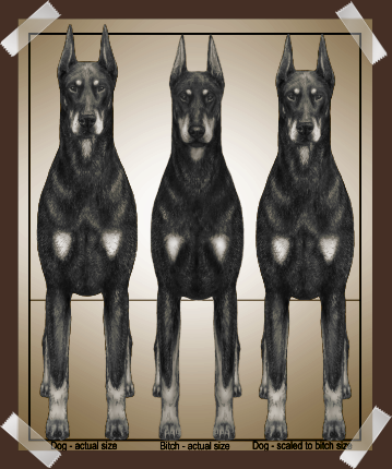 Doberman Size Comparison - DPCC Illustrated Standard