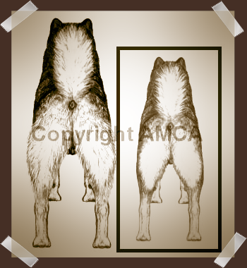 Alaskan Malamute Standing Rear Illustrated mid-Draft to Final