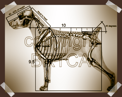 BRTCA measurements as called for in Breed Standard