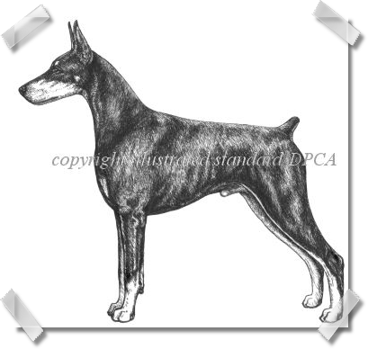 Doberman Pinscher Club of America - Illustrated STandard Drawings IN Pen and Ink