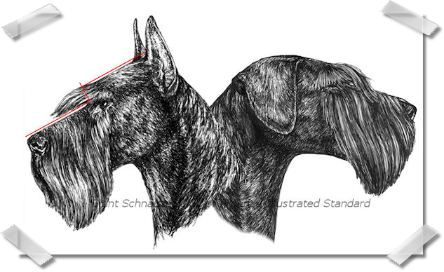 Pen and Ink Drawings for The Illustrated Breed Standard of the Giant Schnauzer