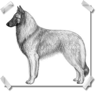 Pencil with Shaded Overlay - Drawings for the American Belgian Tervuren Club