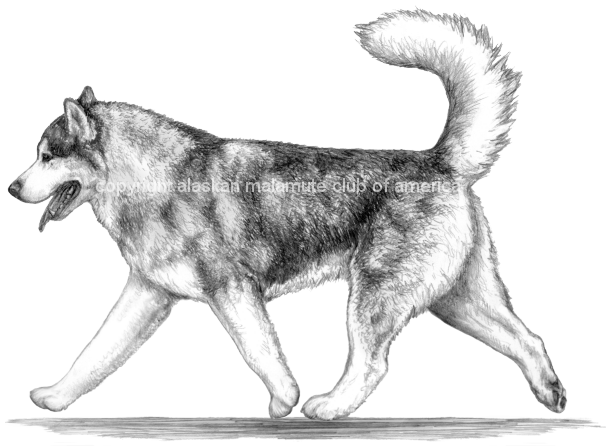 Alaskan malamute Club of America Illustrated Breed Standard - Pencil Drawings with Shaded Overlay