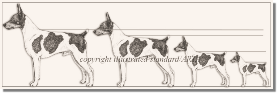 Drawing Size Comparison in the Rat Terrier