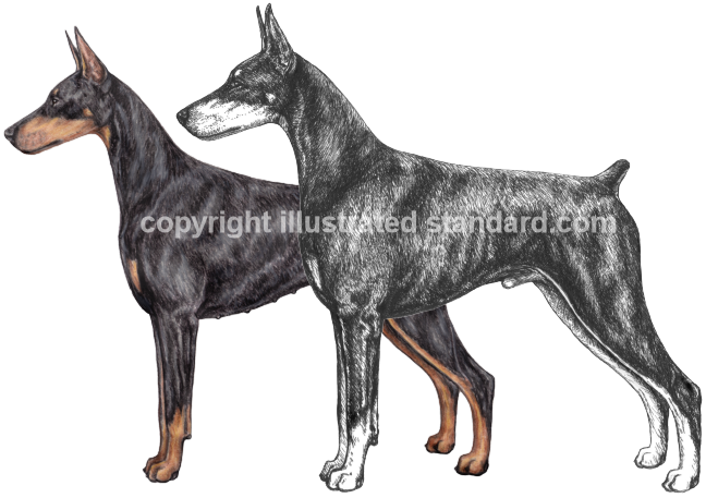 DPCA Illustrated Standard Video Dogs
