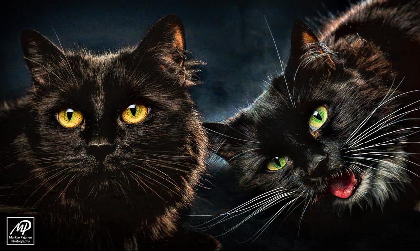 Lemmikkieläinten valokuvaus - kissat