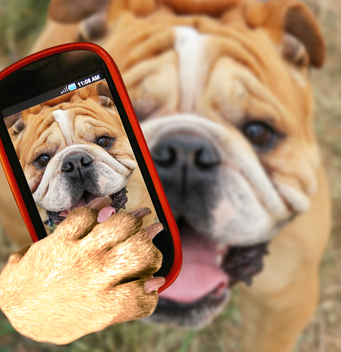 A bulldog taking a selfie with his cell phone.