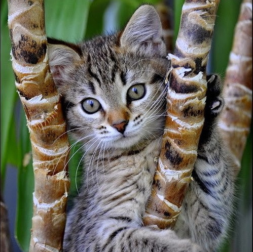 Gray cat clinging to bamboo branches. AN eco-friendly cat!