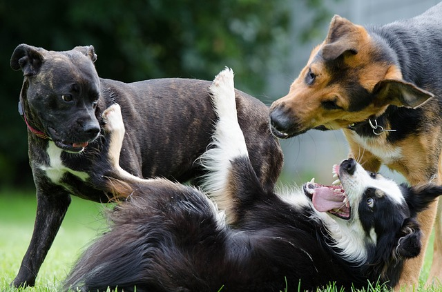 """Dog park """"play"""" can be happy or aggressive."""